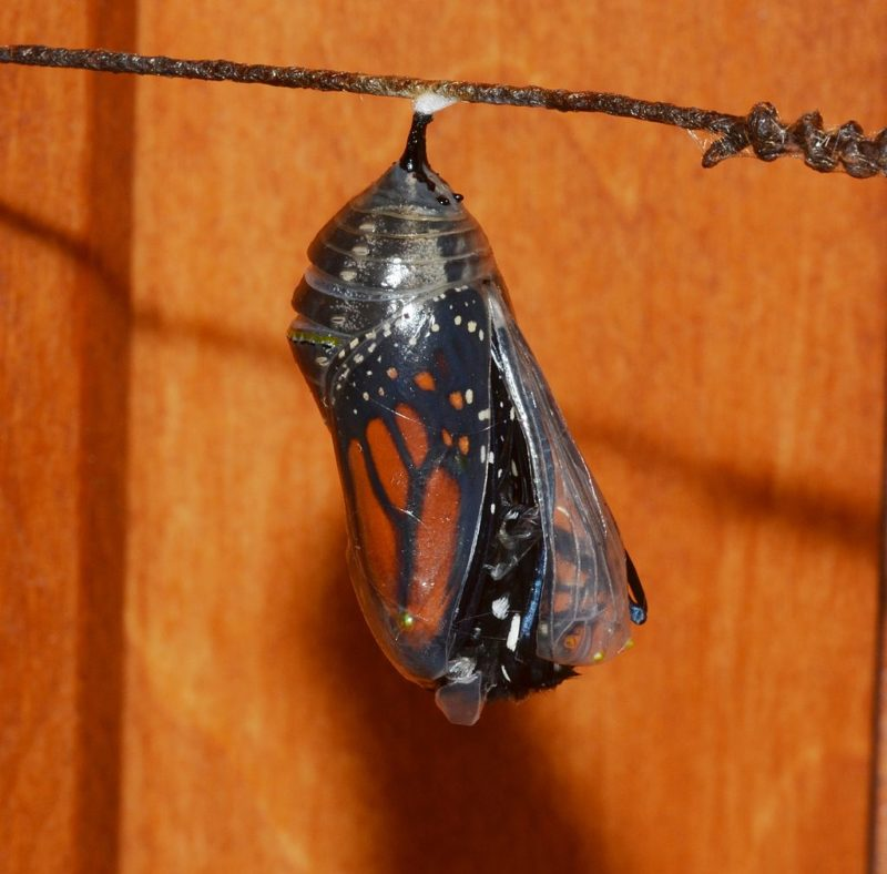Monarch emerging from chrysalis to illustration transformation in the realm of being.